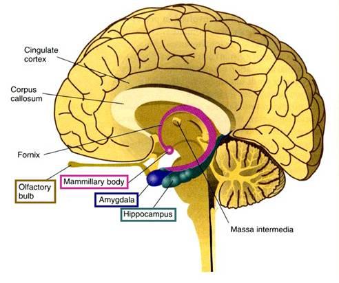 Hippocampus-1